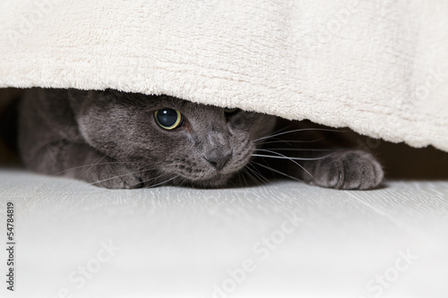 british gray cat looking from under bed