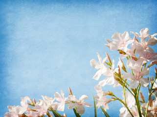 Light pink  flowers of oleander  on blue paper background