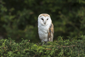 Barn Owl sitting on the hedge