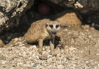 Young meerkat looking out