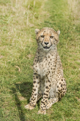 Young cheetah sitting in the grass