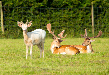 Albino and red deer in the New Forest Hampshire England