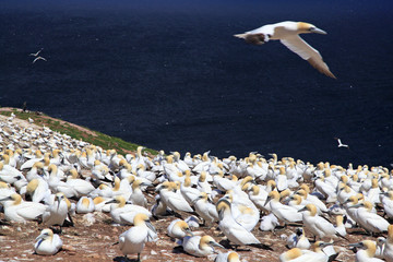 Northern Gannet on Bonaventure Island, Quebec