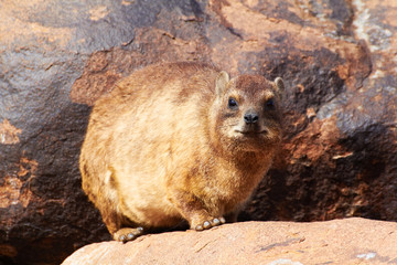 Dassie in front of a rock, Karas, Namibia