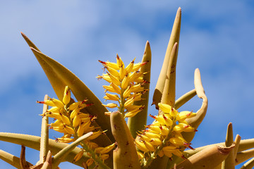 Quiver Tree in Bloom, Karas, Namibia