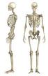 canvas print picture - Anatomische Darstellung menschliches Skelett 1