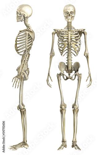 canvas print picture Anatomische Darstellung menschliches Skelett 1