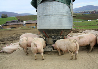 Pigs on the farm are feeding from food silo