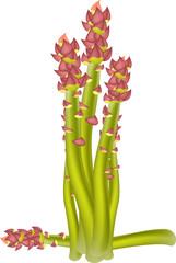 asparagus for you design