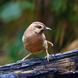 White-browed Laughingthrush poster