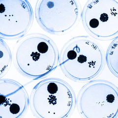 Growing Bacteria in Petri Dishes.