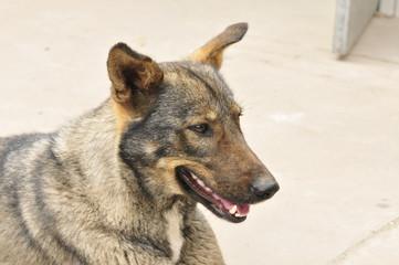 Grey Wolf green dog