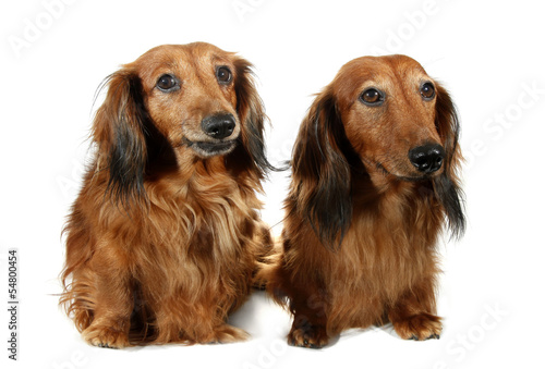 Pair dog long-haired dachshund pet