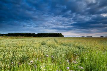 wheat field in morning light