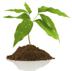 jeune arbre fruitier, litchi