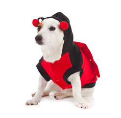 Jack Russell dressed up as a ladybug