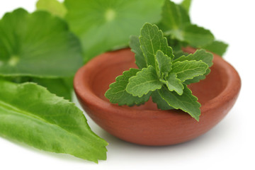 Stevia with other medicinal herbs over white background