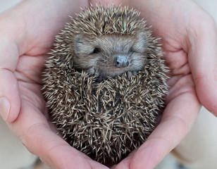 Cute hedgehog baby in male hand, closeup