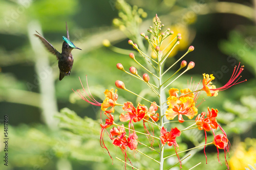 Antillean Crested Hummingbird (Orthorhyncus cristatus)