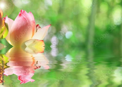 Papiers peints Fleur de lotus lotus...