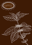 Hand drawn coffee plant illustration