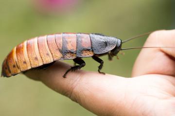 Madagascar hissing (Gromphadorhina portentosa) cockroach