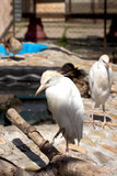 little egret zoo  / Little Egret