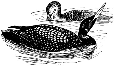 Bird Great Northern Loon
