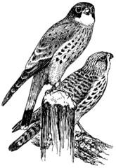 Birds Common Kestrel