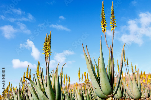 aloe vera plantation in the Canary Islands