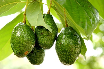 green avocados on the tree