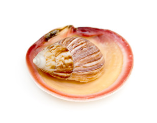 The shell clam ocean on a white background
