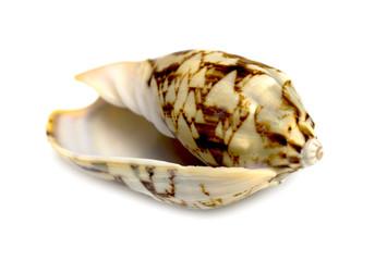 sea shell closeup isolated on white