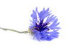 canvas print picture - knapweed flower on a white background