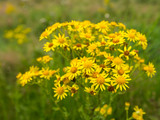 Yellow flowering Ragwort