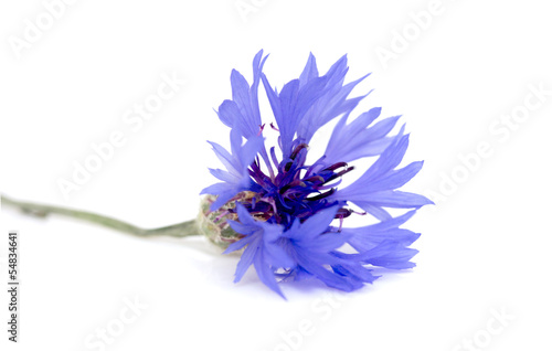 canvas print picture knapweed flower on a white background