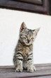 Adorable tabby kitten