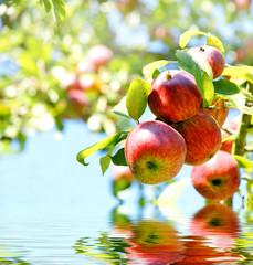 rote Äpfel mit Spiegelung