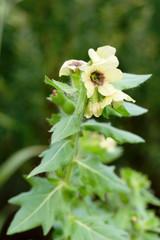 Hyoscyamus niger - Henbane