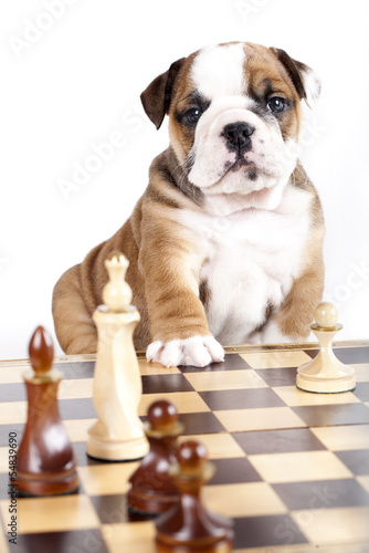 bulldog puppy playing chess