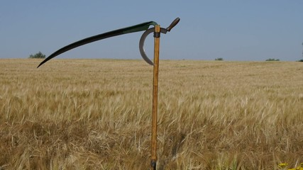 old scythe on  background growing cereal