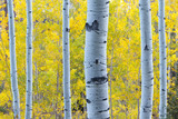 Golden Yellow Aspen Leaves Behind Blue Light Aspen Tree Trunks