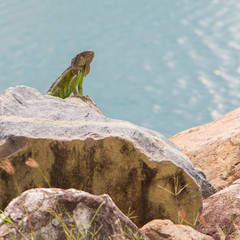 Green Iguana (Iguana iguana) sitting on rocks