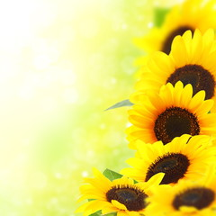 Yellow sunflowers.