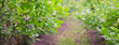 Borówka amerykańska krzak gałąź liść uprawa