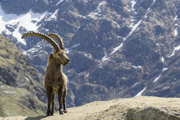 stambecco, Parco Nazionale Gran Paradiso, Italia