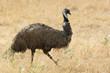 canvas print picture - Emu, Tasmanien, Australien