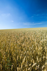 Getreidefeld bis zum Horizont