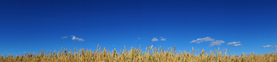 wheat on blue sky