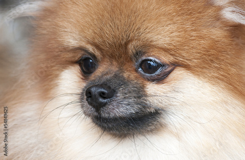 Portrait of pomeranian. Dog show.